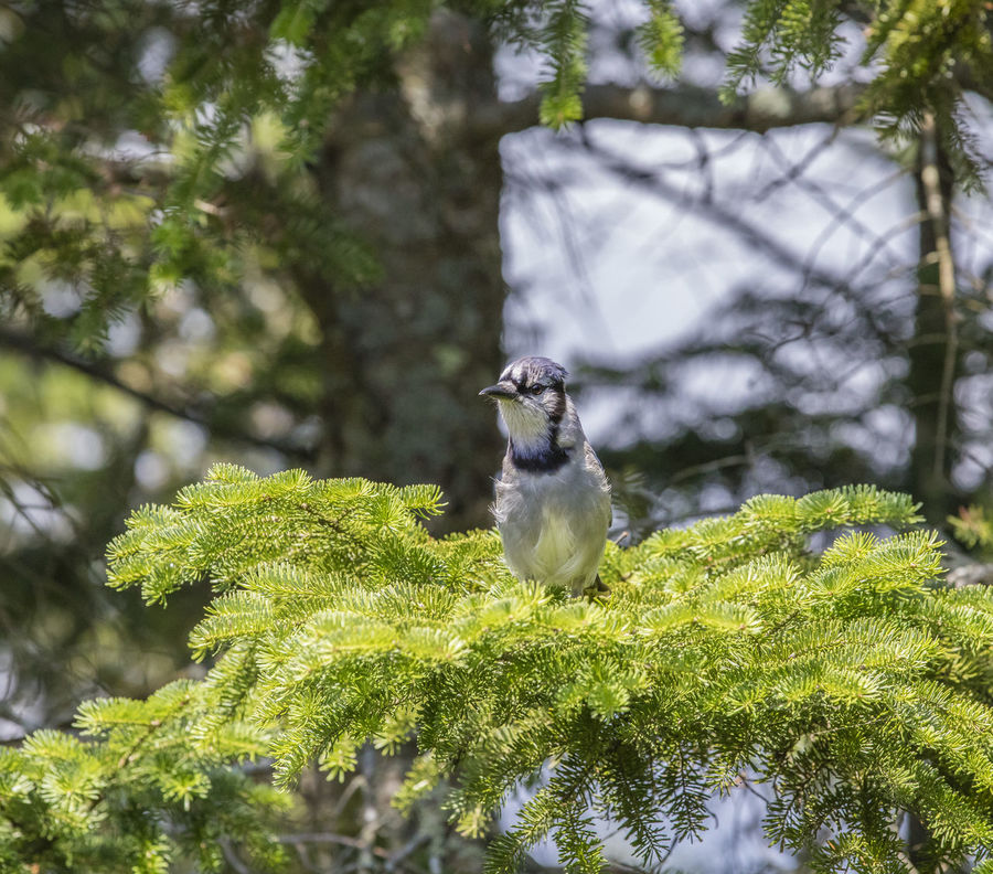 Animal Themes Animal Wildlife Animals In The Wild Beauty In Nature Bird Blue Jay Bird Branch Close-up Day Green Color Growth Leaf Nature No People One Animal Outdoors Perching Tree Woodpecker