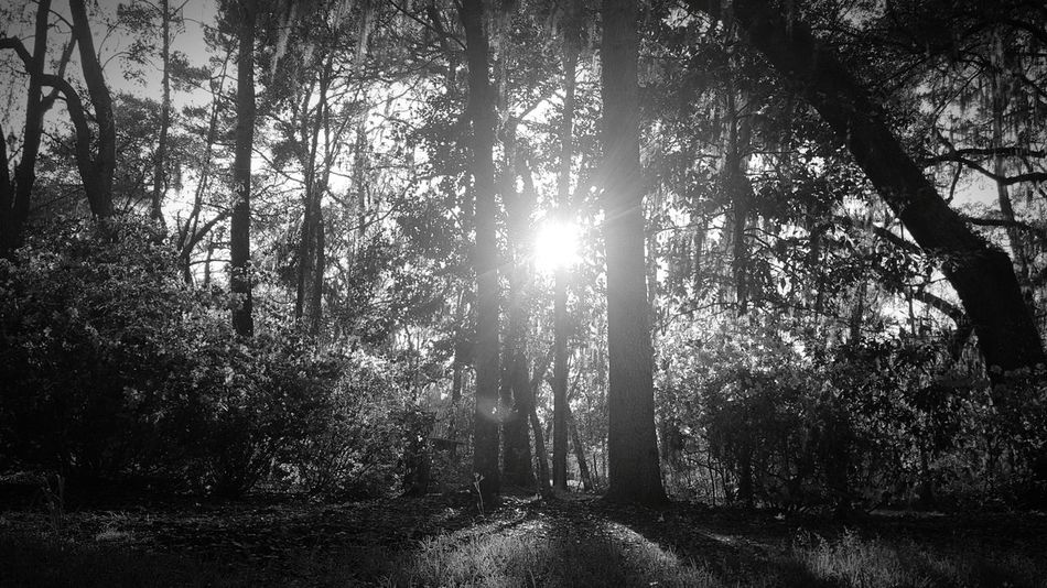 Tree Growth Nature No People Beauty In Nature Low Angle View Outdoors Backgrounds Tranquility Day Sky EyEmNewHere Sunrays Sunbeam Sunlight Tranquil Scene Blackandwhite Tranquility Growth Morning Spotlighting Cast Shadows Shadow And Light EyeEmNewHere