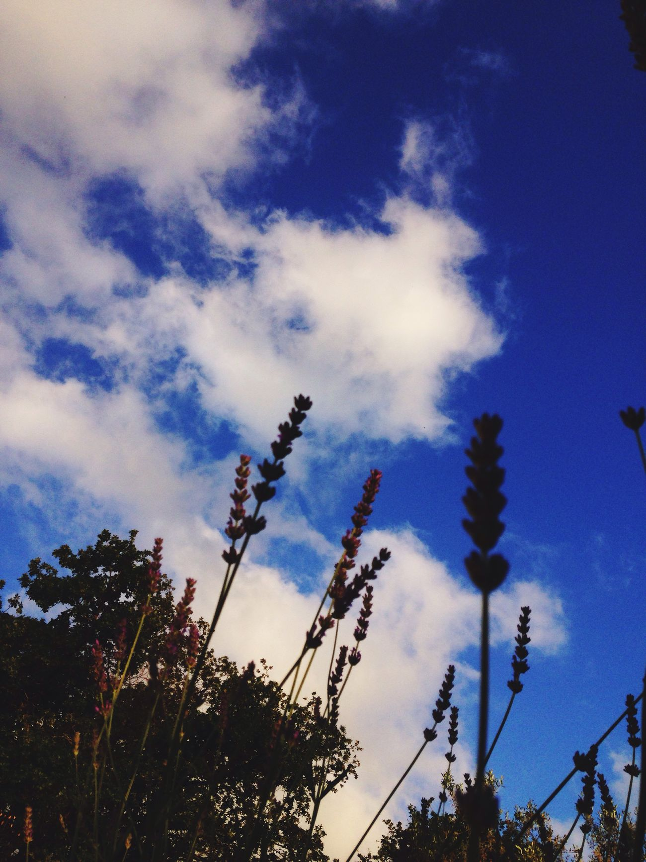 Sky Skyporn Clouds And Sky Clouds Blue Sky Blue Flower Garden Nature Nature Photography Nature_collection Lavander
