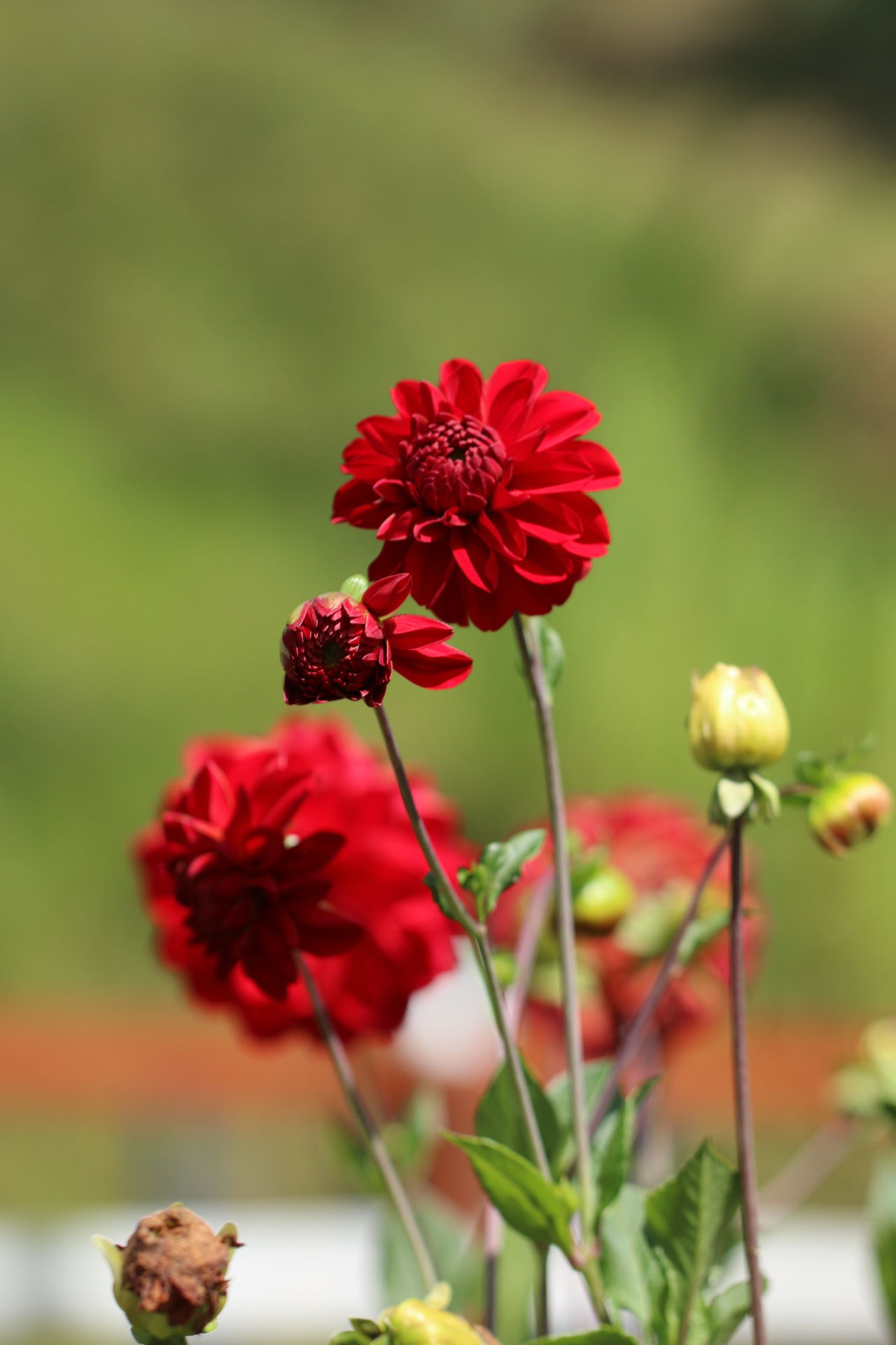Flower Red Nature Fragility Close-up No People Flower Head Beauty In Nature Outdoors Plant Poppy Maroon Day Zinnia