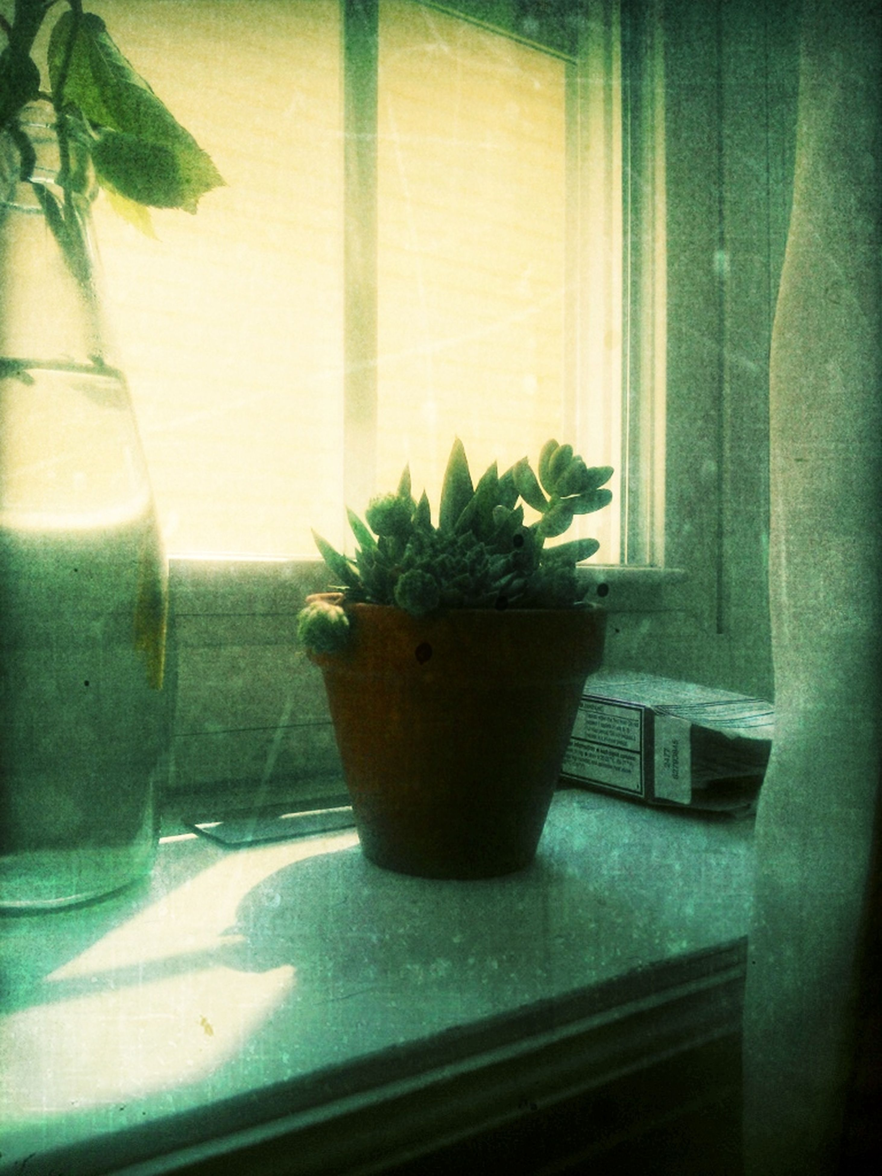 indoors, potted plant, window, plant, growth, glass - material, window sill, table, vase, transparent, home interior, leaf, flower pot, pot plant, freshness, glass, close-up, green color, houseplant, sunlight