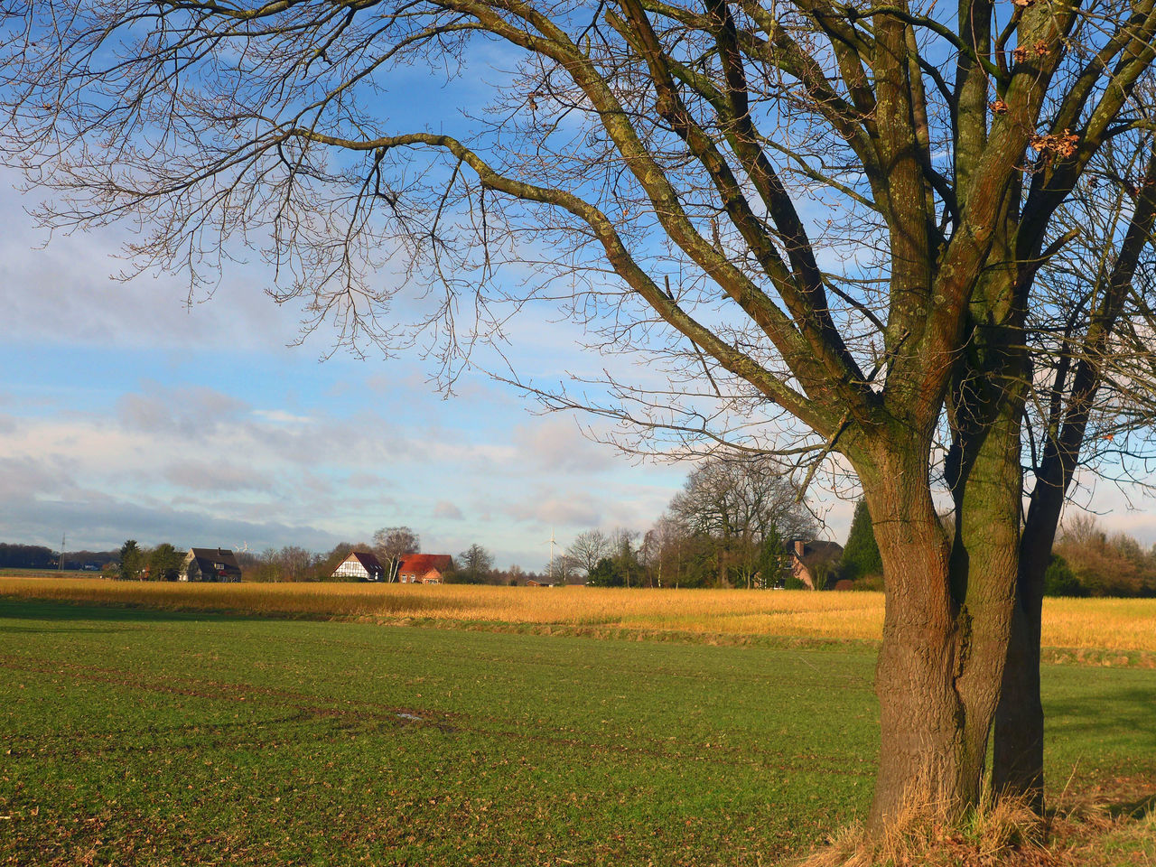 tree, field, tranquility, landscape, bare tree, nature, tranquil scene, beauty in nature, scenics, sky, agriculture, grass, no people, rural scene, day, outdoors, growth, branch