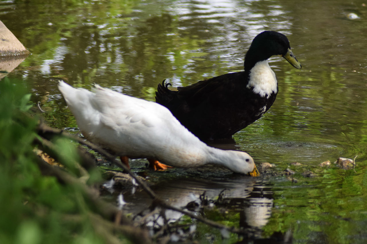 Bird Lake Water Animals In The Wild Animal Wildlife Animal Themes Reflection Nature One Animal No People Swimming Day Outdoors Beauty In Nature Spread Wings Duck Drinking Water Two Ducks One Lake Jackson Michigan Tranquil Scene