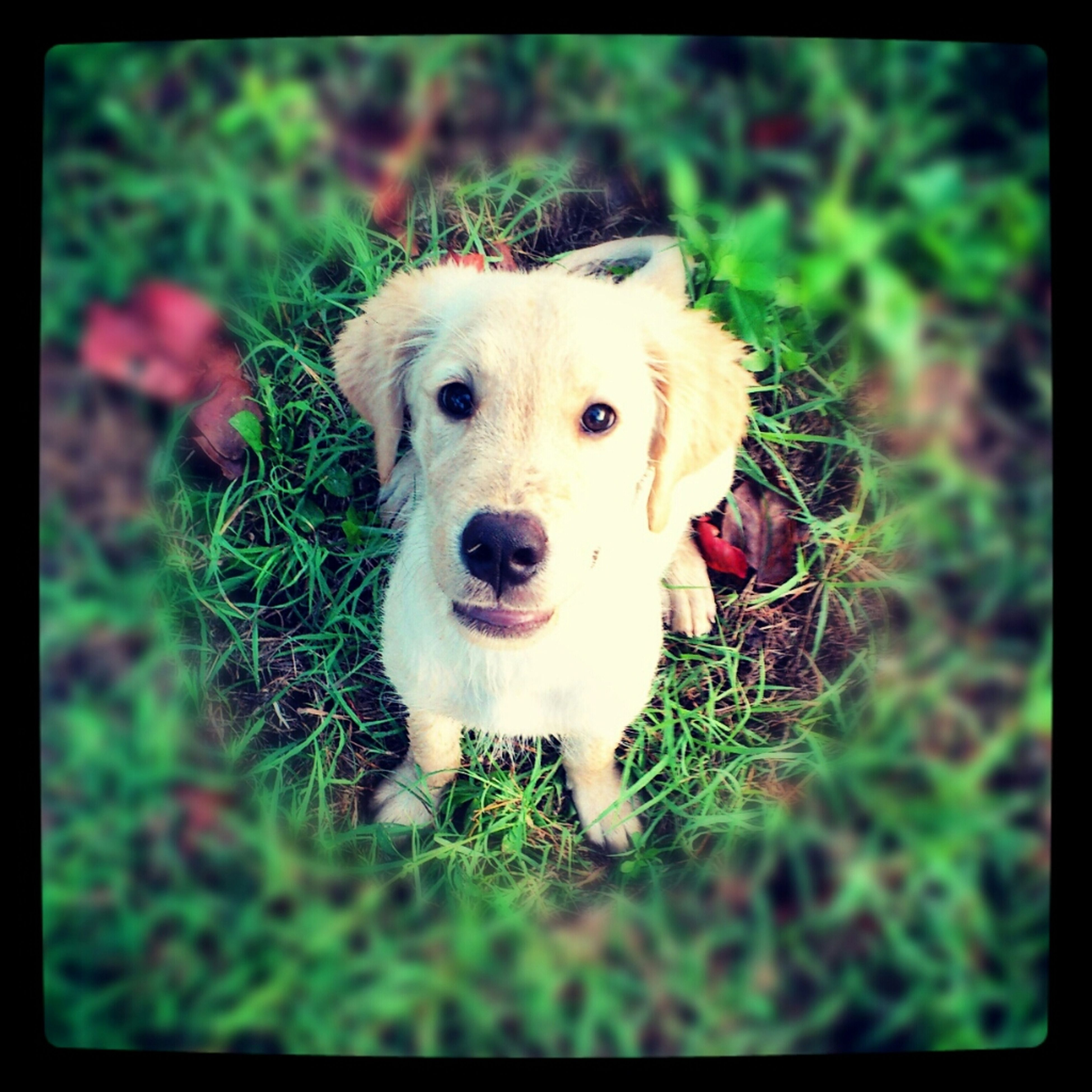 dog, transfer print, pets, animal themes, domestic animals, one animal, grass, auto post production filter, mammal, looking at camera, portrait, field, grassy, cute, high angle view, close-up, selective focus, no people, green color, day