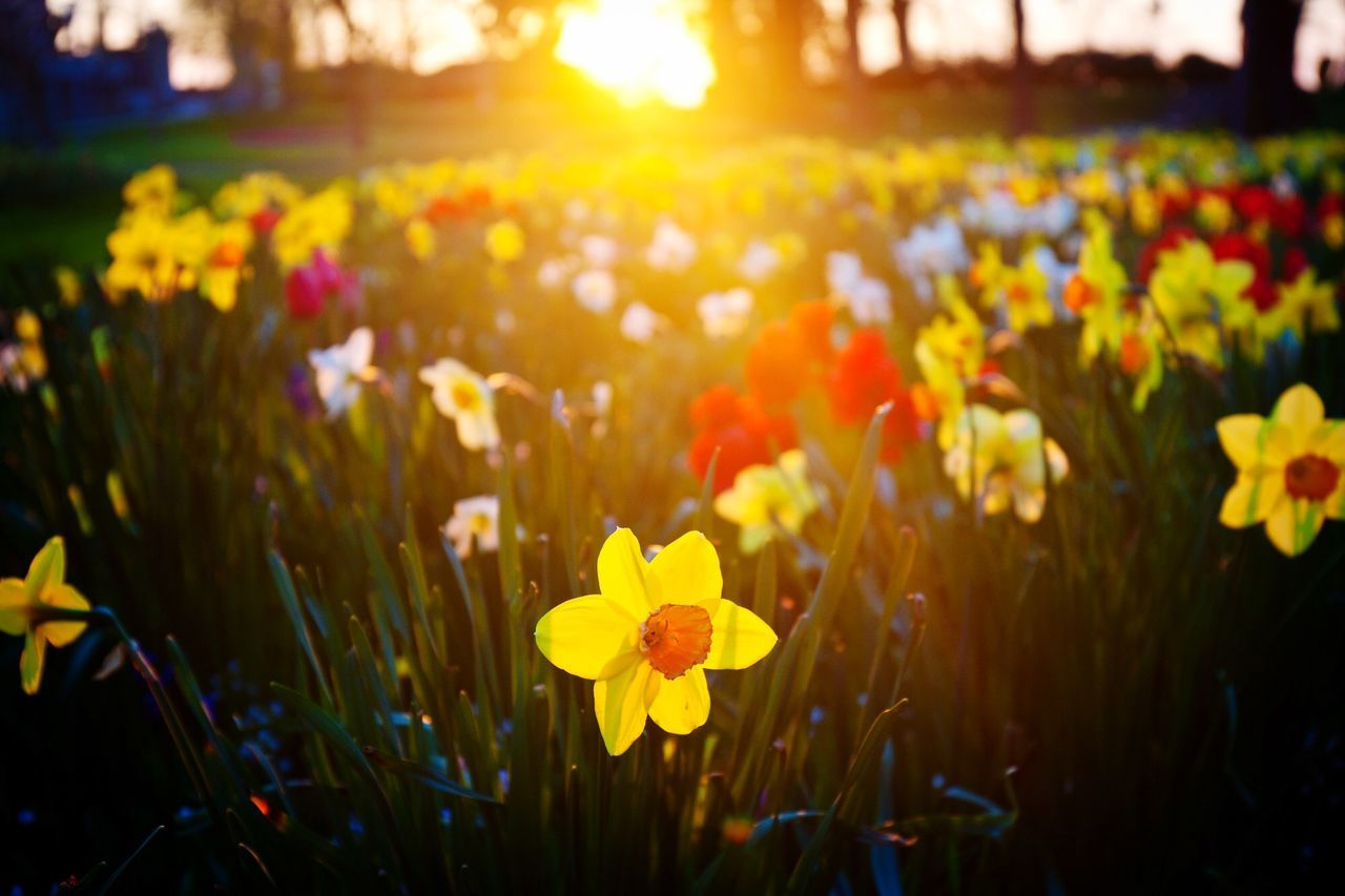Beautiful stock photos of easter, Beauty In Nature, Blooming, Daffodil, Field