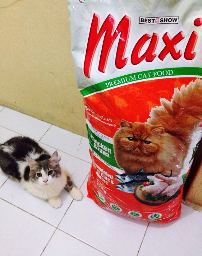 Payday,, restock meow food 😅😅😅 Catlover Humomslave Catfriend Pedrosanches Mainecoon Mix Persian IPhone INDONESIA