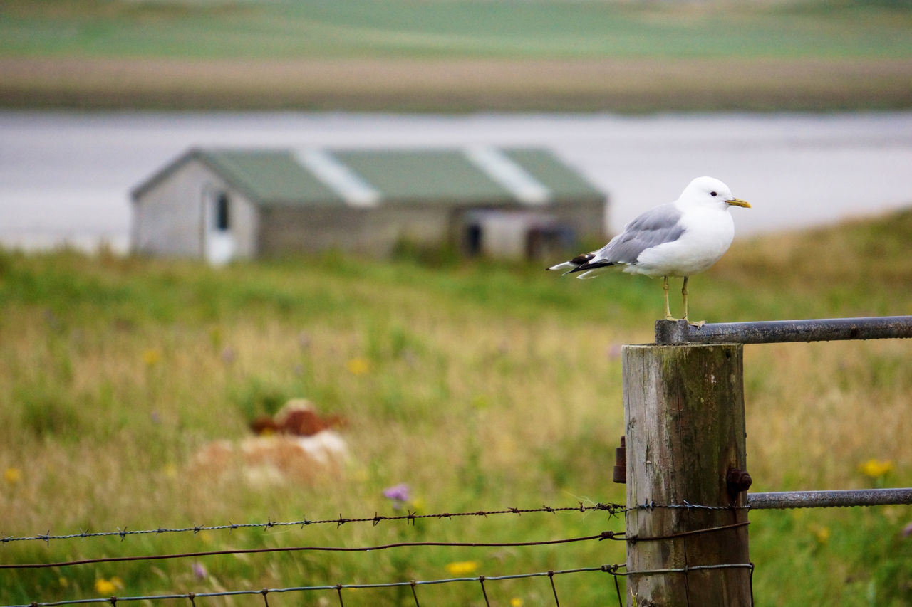 Barn Bird Croft Crofting Fence Field Focus On Foreground Gate Nature Outer Hebrides Perched Perching Rural Rural Scene Seagull Seagull On Fence Tranquility Wildlife Zoology