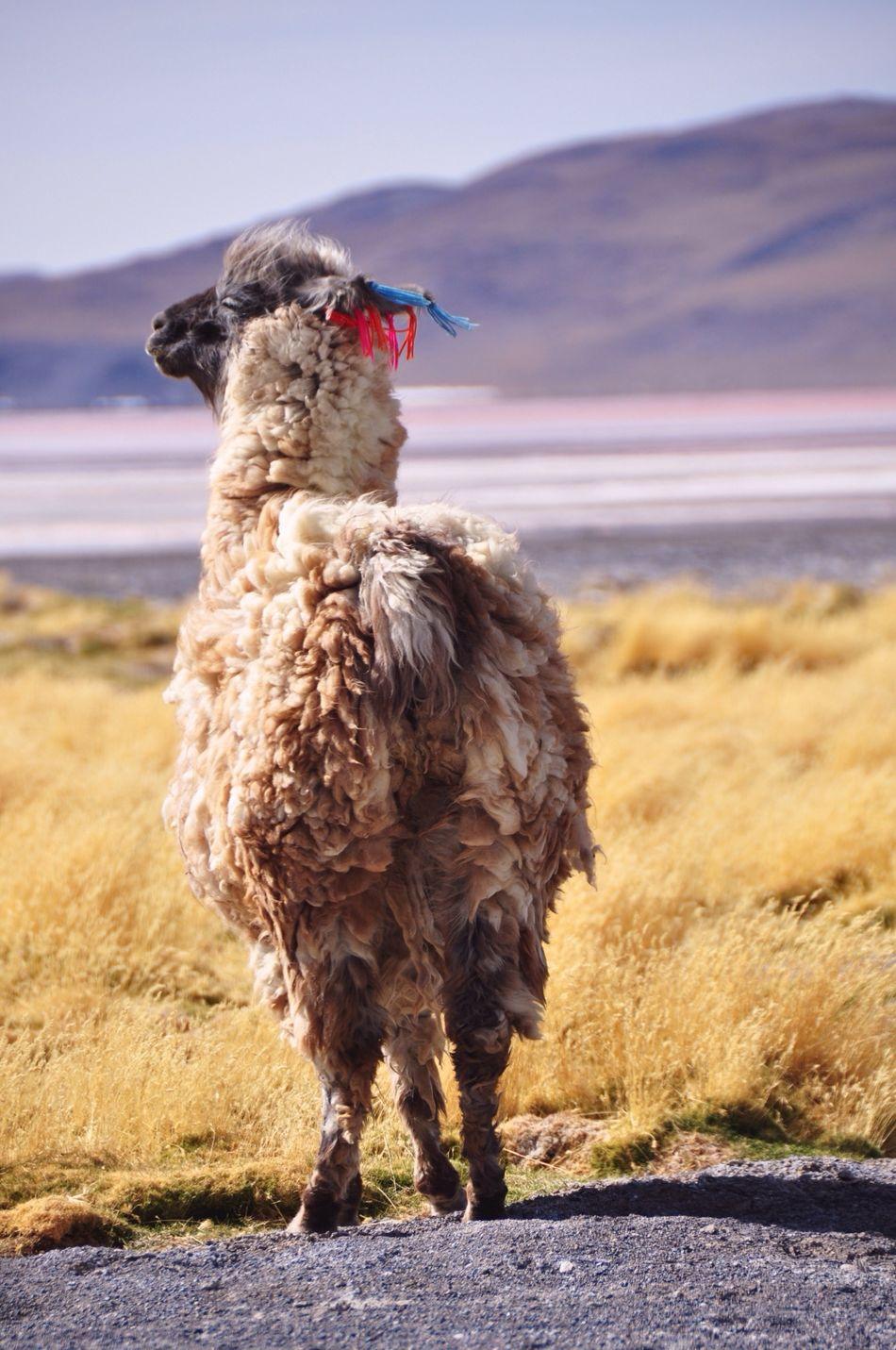 Beautiful stock photos of llama, Animal Themes, Day, Domestic Animals, Full Length