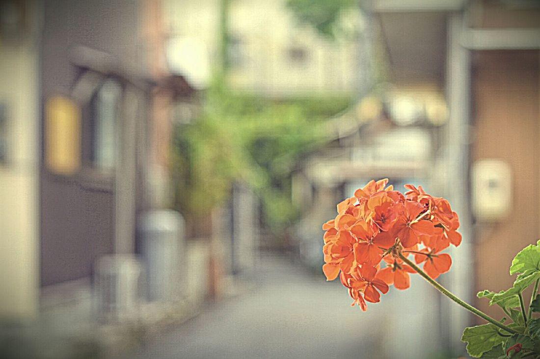 街並みシリーズ 裏路地 宮島 広島 花 Miyajima Hiroshima Flower Japan