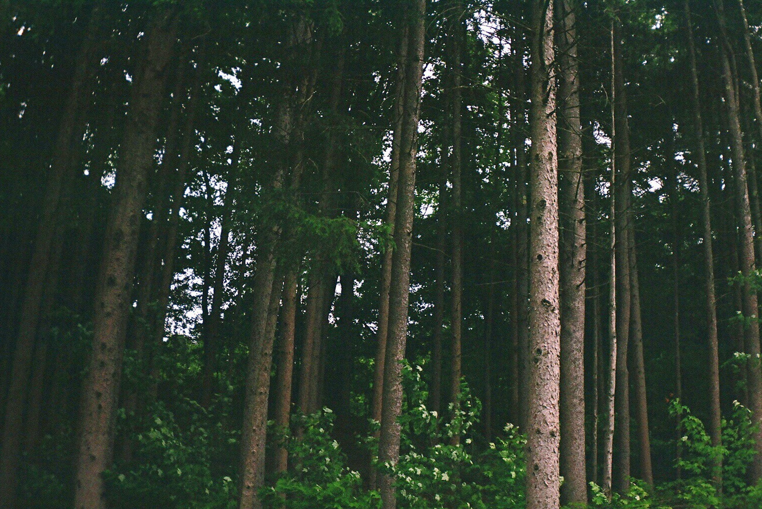 tree, nature, beauty in nature, growth, tranquility, forest, no people, tree trunk, low angle view, outdoors, scenics, sky, day, bamboo grove