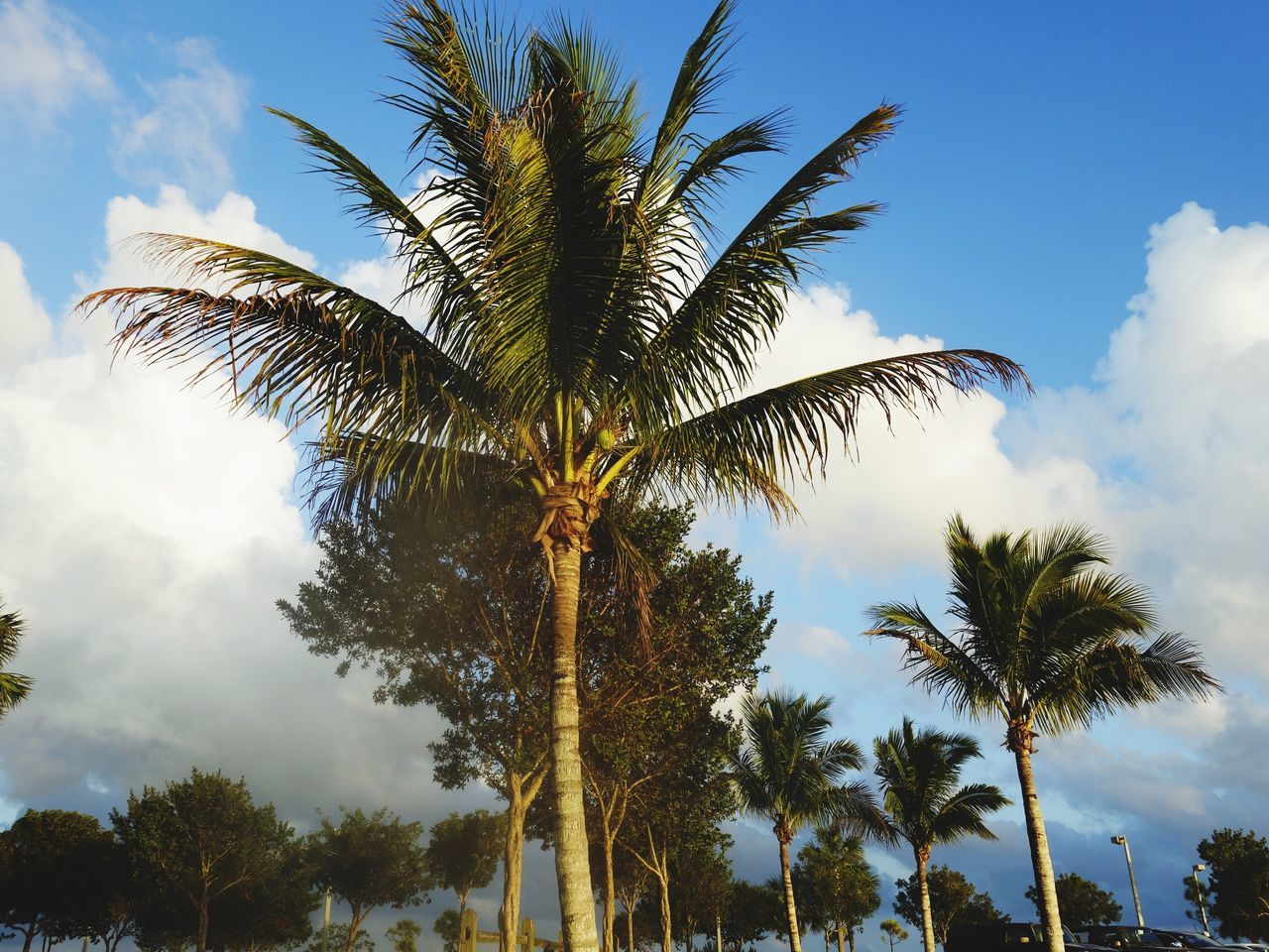 Palm Tree Tree Low Angle View Sky Tree Trunk Growth Beauty In Nature Nature Outdoors Cloud - Sky Day No People Palm Frond