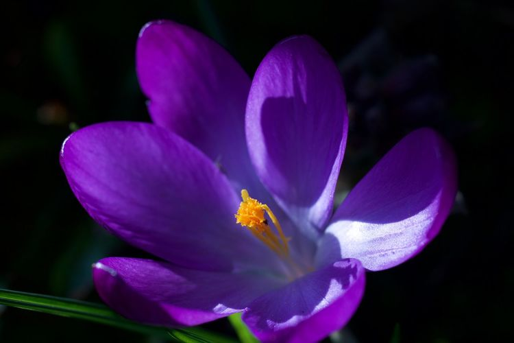 Purple Crocus Blooming Blossom Close-up Crocus Flower Garden In Bloom Macro Photography Plant Purple Single Flower Springtime