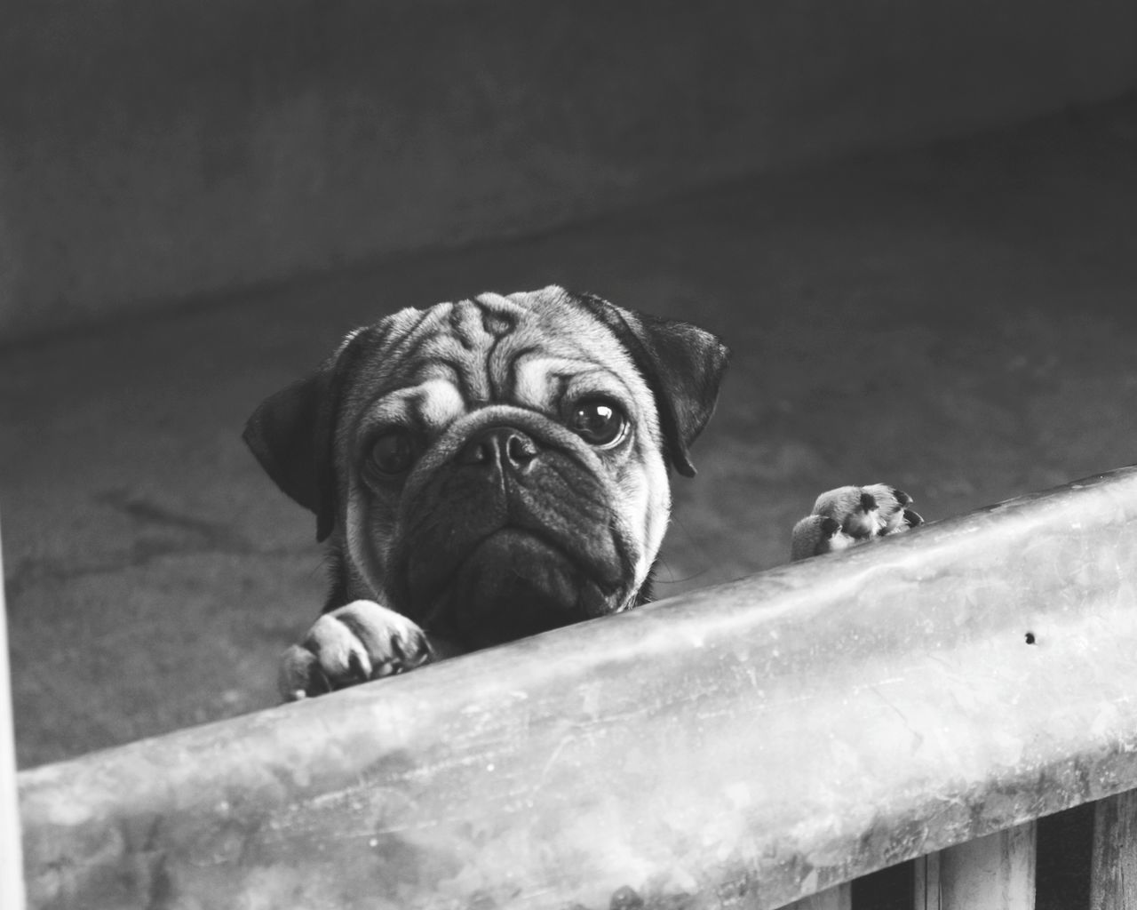 Hey!human, get me out of here. 😁😘🐕 Dog Small Animal Pug Pets One Animal No People Close-up Animal Themes Outdoors Day Cellphonephotography EyeEmNewHere Pug Life  Puglove  Puglover Pugofmylife Pugsnotdrugs  Dog Love Dogs Of EyeEm Dogslife