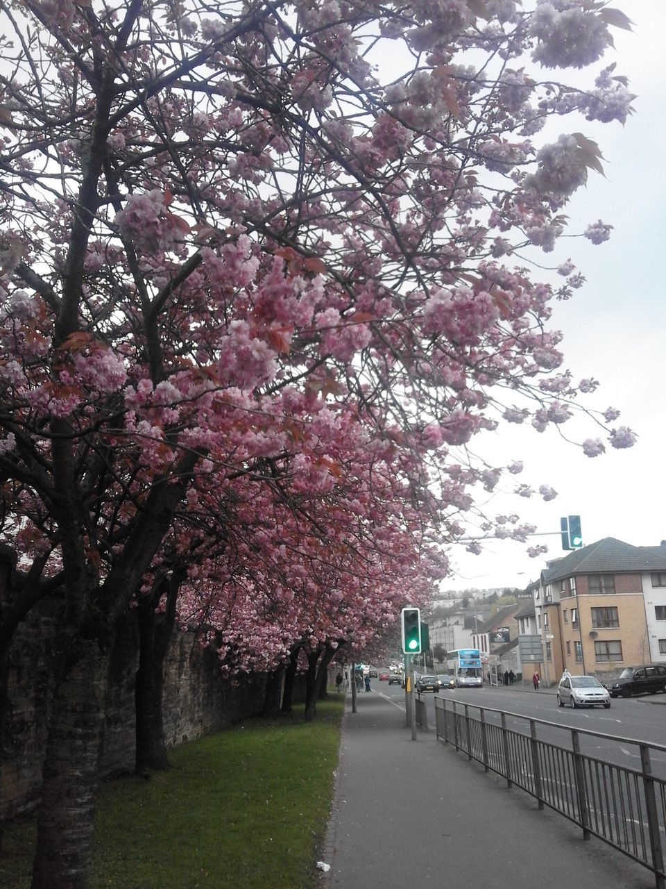 tree, blossom, flower, growth, nature, branch, springtime, beauty in nature, pink color, no people, architecture, day, outdoors, sky, road, fragility, freshness, building exterior, city