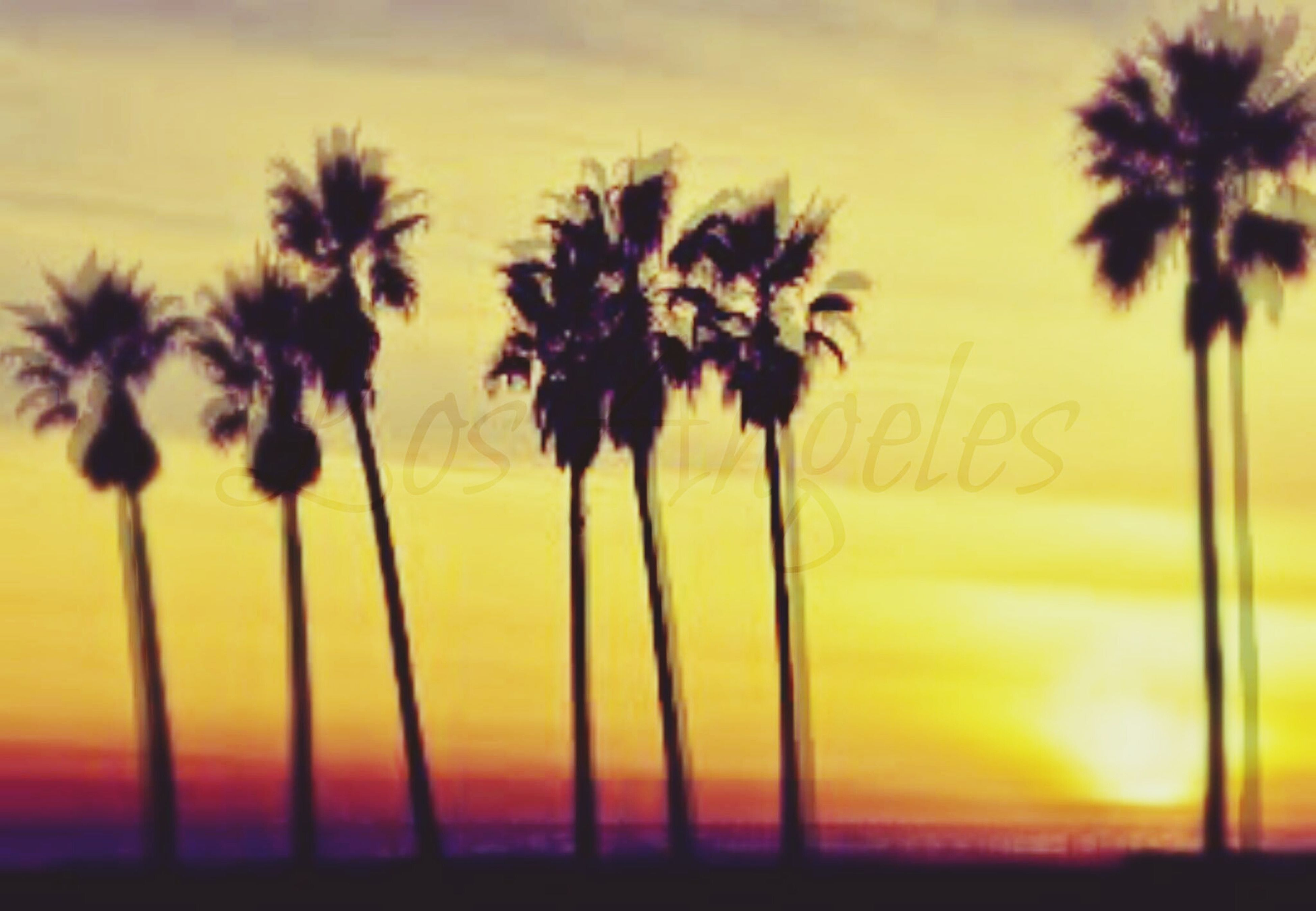 palm tree, sunset, yellow, growth, sky, nature, beauty in nature, orange color, silhouette, tranquility, tree, no people, outdoors, tree trunk, scenics, field, tranquil scene, focus on foreground, stem, plant