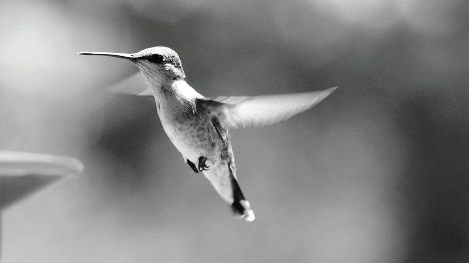 Beautiful stock photos of kolibri, Animal Themes, Animal Wildlife, Animals In The Wild, Bird
