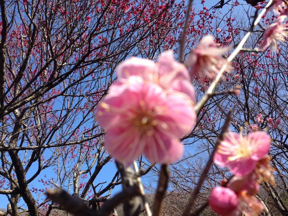 Plum blossoms. Bless my hometown. And that always all times long, any times long forever.
