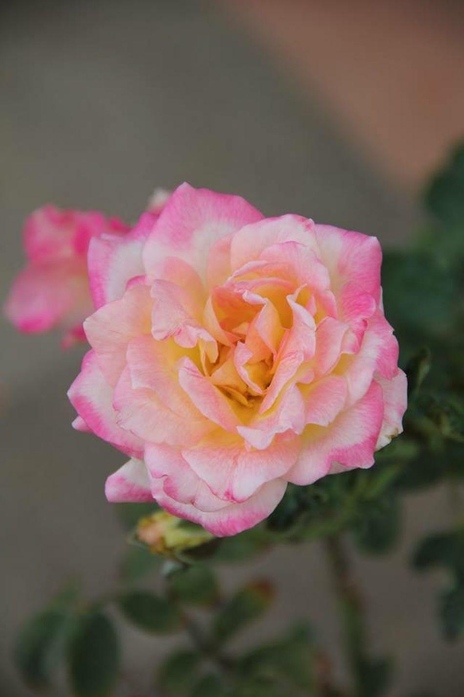 Flowers Roses Nature Beautiful Beautiful Nature Natural Beauty Pink Faded Closeup