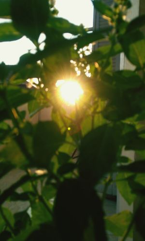 Sunlight Nature Leaf Green Color Sun Growth Outdoors No People Day Plant Branch Beauty In Nature Sunlight Sunshine Sun Behind Tree Sunshine Through Branches Sunset Through The Trees Egypt