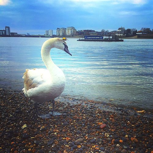 Thames River Thames Thames Foreshore Water Bird One Animal Animal Themes Swan Nature Outdoors Day Water Bird Beak City Beauty In Nature Sky River London River Thames Break The Mold The Great Outdoors - 2017 EyeEm Awards Neighborhood Map Rethink Things
