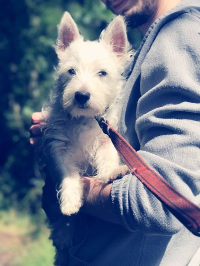West highland terrier puppy Pets West Highland White Terrier One Animal