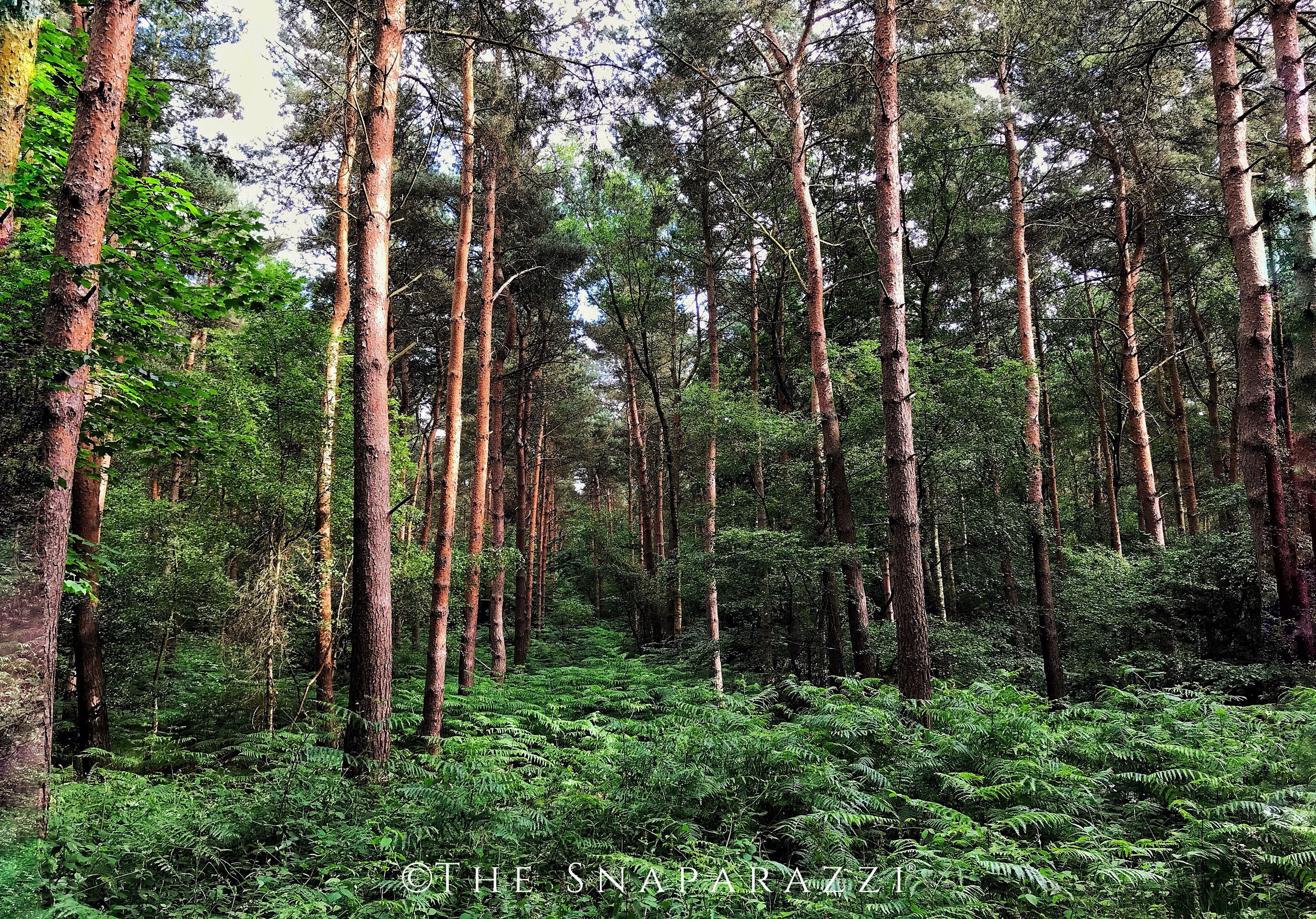 forest, tree, nature, growth, tranquility, tree trunk, no people, beauty in nature, tranquil scene, non-urban scene, scenics, day, outdoors, green color, landscape
