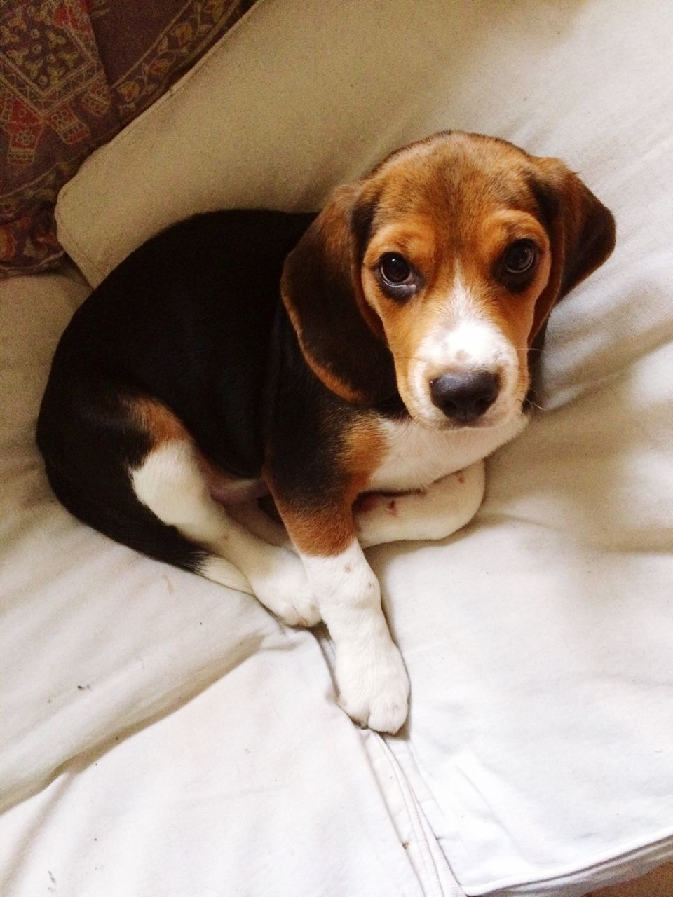 dog, pets, mammal, puppy, one animal, looking at camera, indoors, domestic animals, relaxation, portrait, cute, sitting, beagle, animal themes, no people
