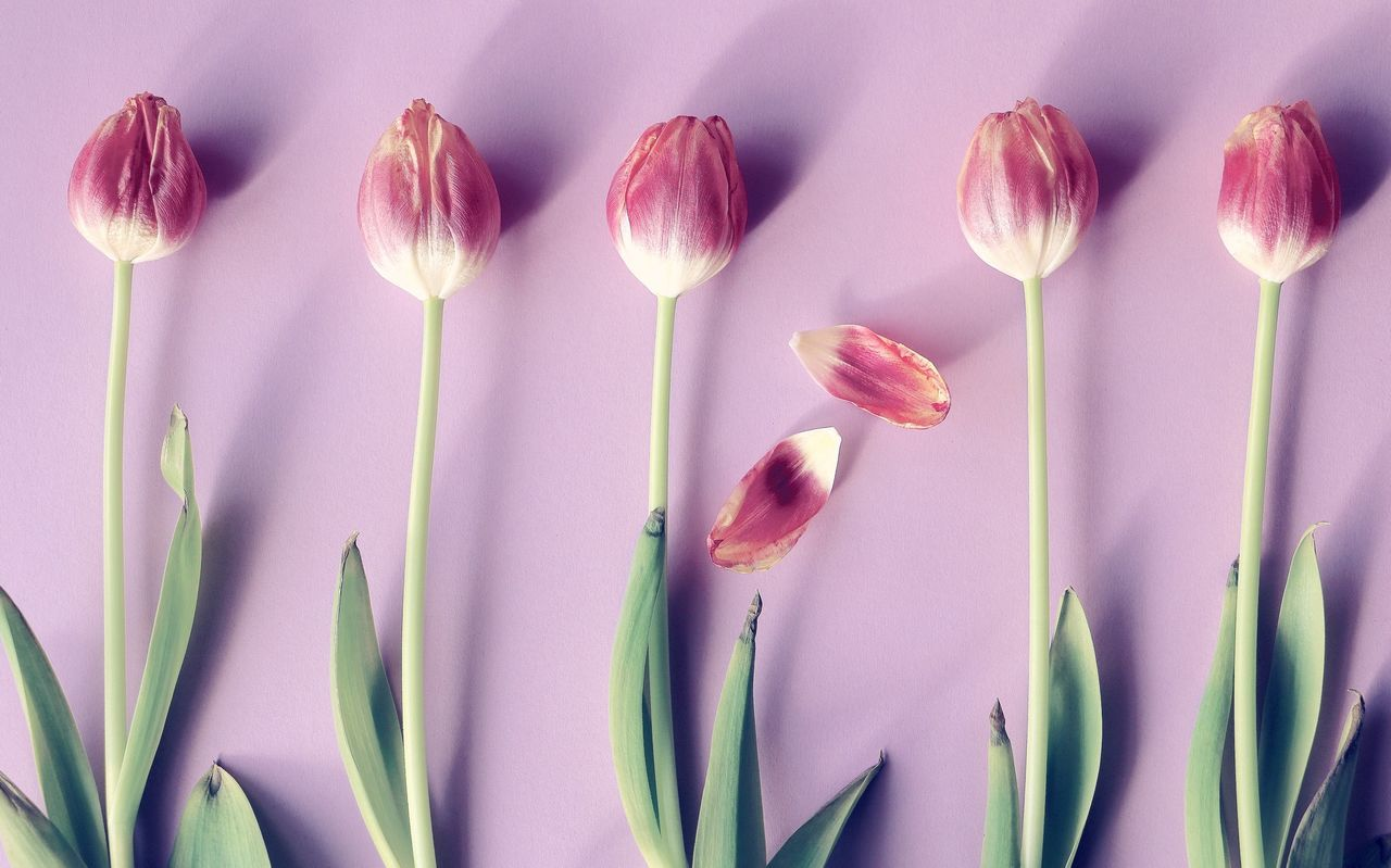 Beautiful stock photos of tulip, Directly Above, Flower, Fragility, Freshness