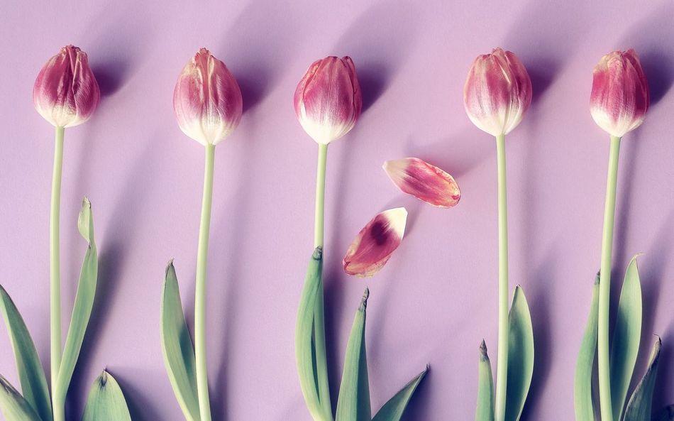 Beautiful stock photos of tulip, Directly Above, Flower, Fragility, Freshness