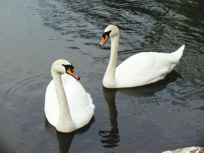 Гордые и изящные лебеди.
