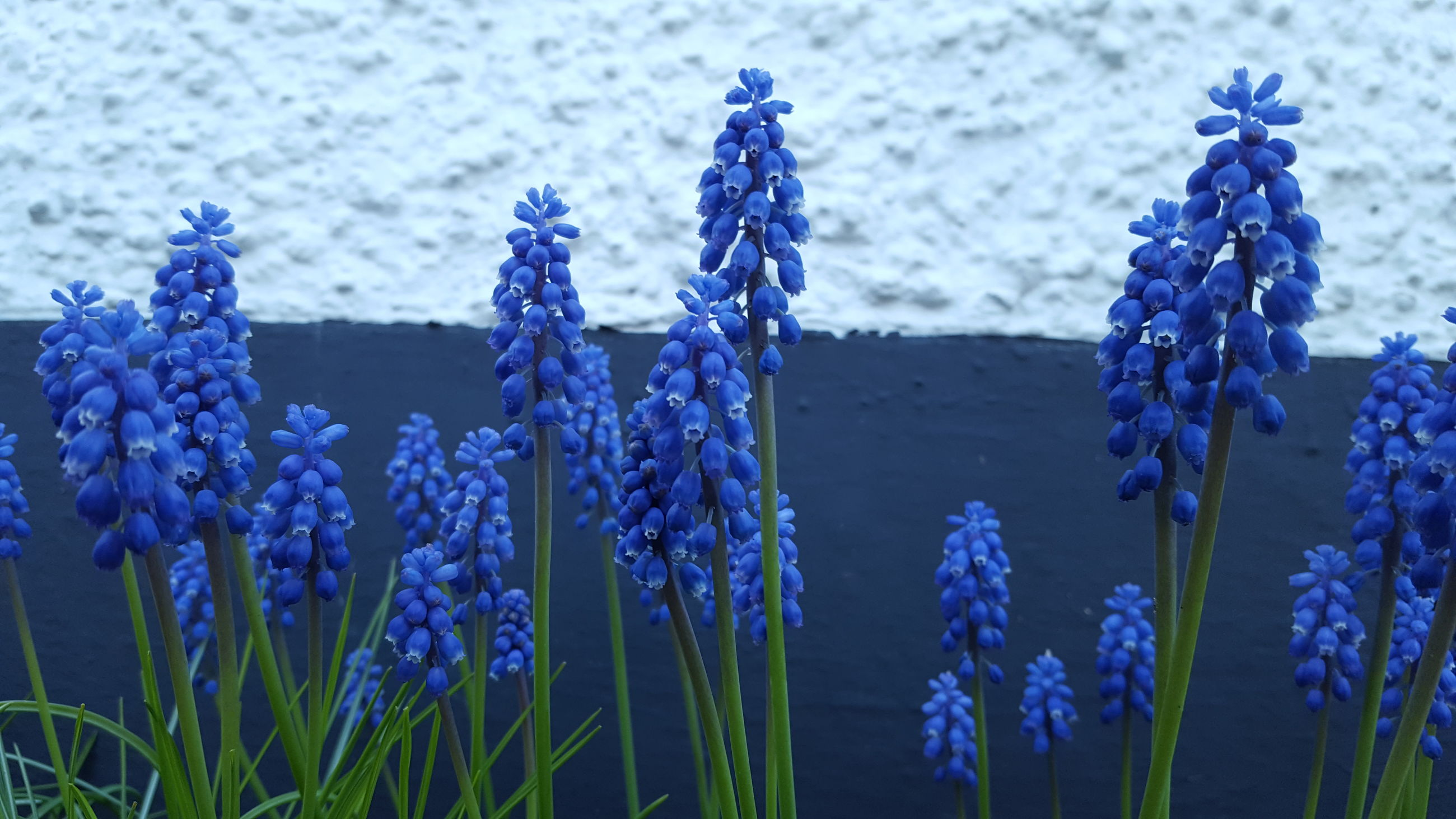 flower, purple, nature, growth, blue, plant, beauty in nature, fragility, no people, hyacinth, lavender, close-up, outdoors, freshness, flower head, day