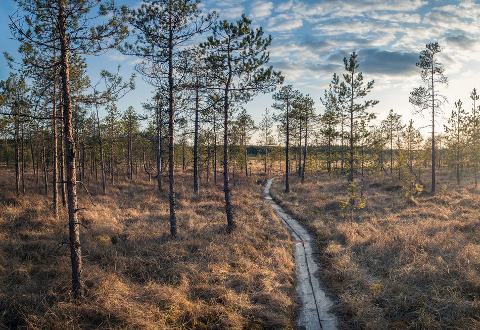 Scenic landscape with evening light in mire Finland Atmospheric Mood Bare Tree Beauty In Nature Blue Bright Day Forest Freshness Grass Growth Hiking Landscape Nature Nature No People Outdoors Scenics Spring Springtime Sunset Swag Swamp The Way Forward Tranquility Tree