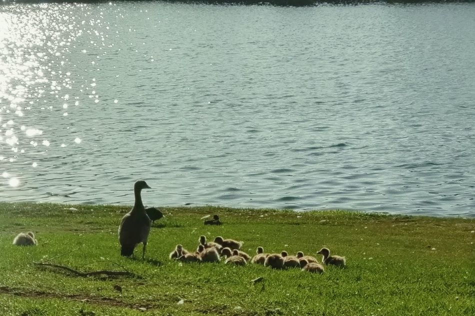 Family time :) Walking Around Canadian Geese Lake Sparkles Baby Geese Goslings Gaggle Of Geese Family Wildlife & Nature Relaxing Beauty In Nature Landscape EyeEm Nature Lover