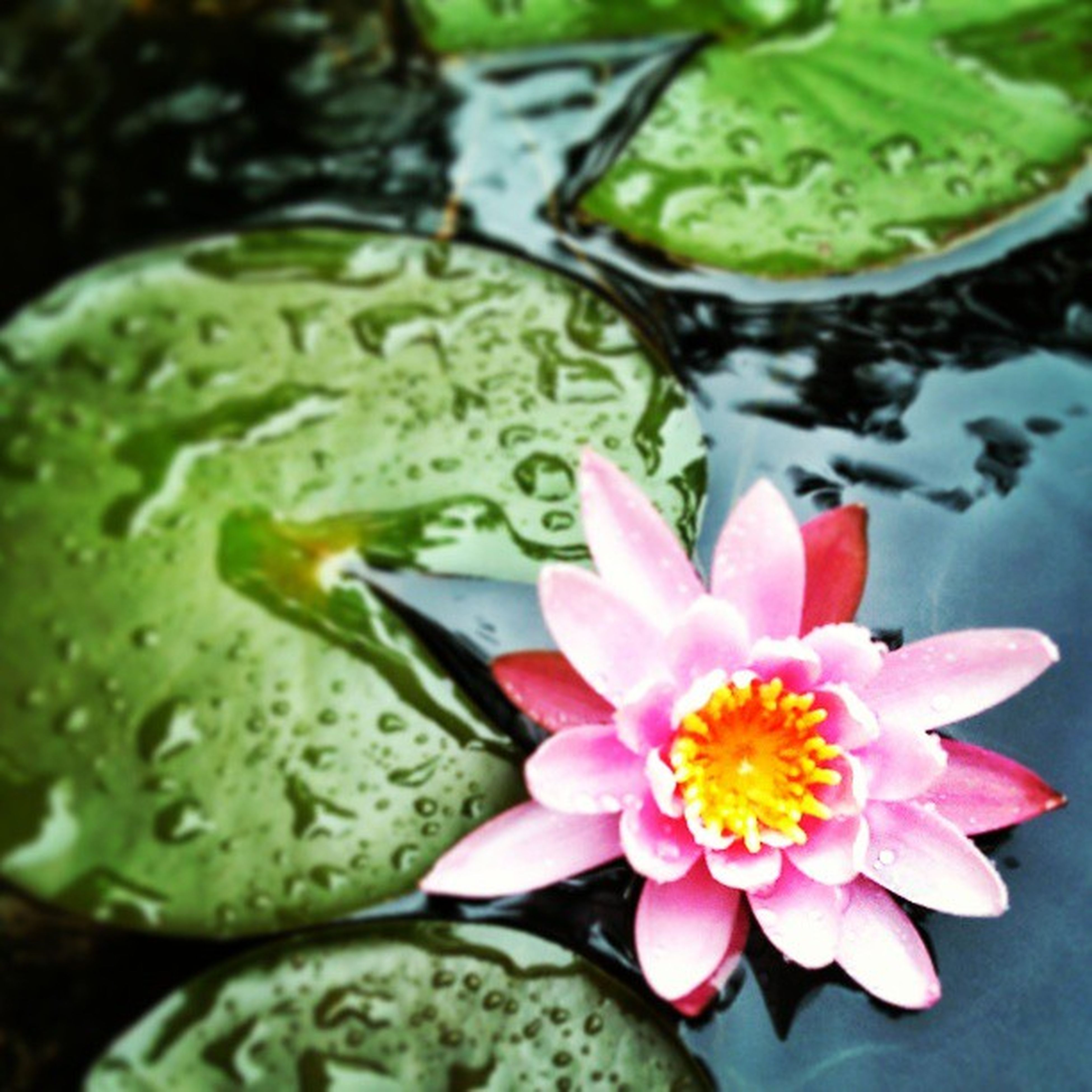 flower, water lily, petal, freshness, pond, water, flower head, fragility, floating on water, leaf, beauty in nature, lotus water lily, high angle view, growth, pink color, nature, single flower, plant, close-up, green color