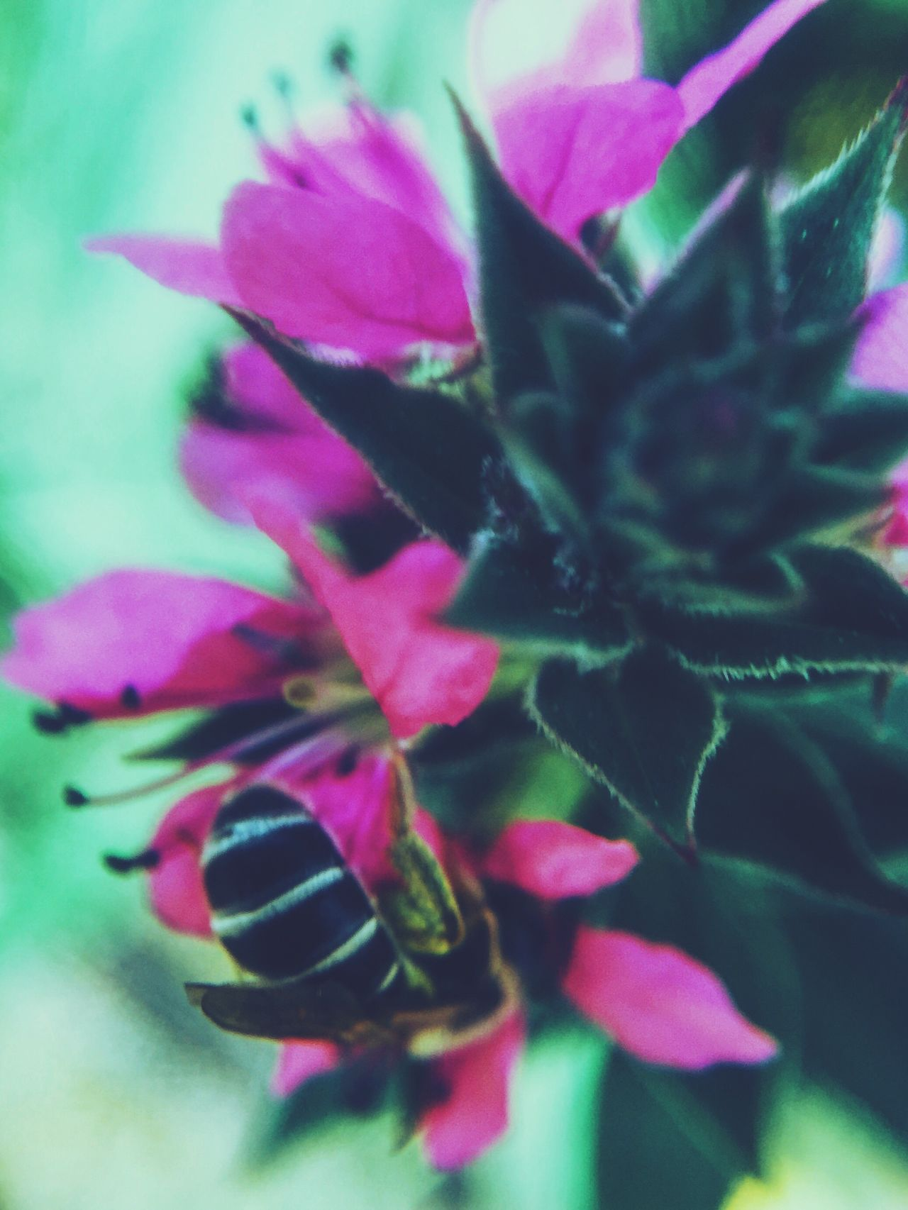 Bee Bees Bees And Flowers Beesofeyeem Beesonflowers Bee 🐝 Insect Insects  Flower Flowers Pinkflower Floral Florals Nature Taking Photos Nature On Your Doorstep VSCO Macro Photography Nature Photography VSCO Cam Macro Beauty Macro_collection Floralphotography Flowercloseup Olloclip Macro