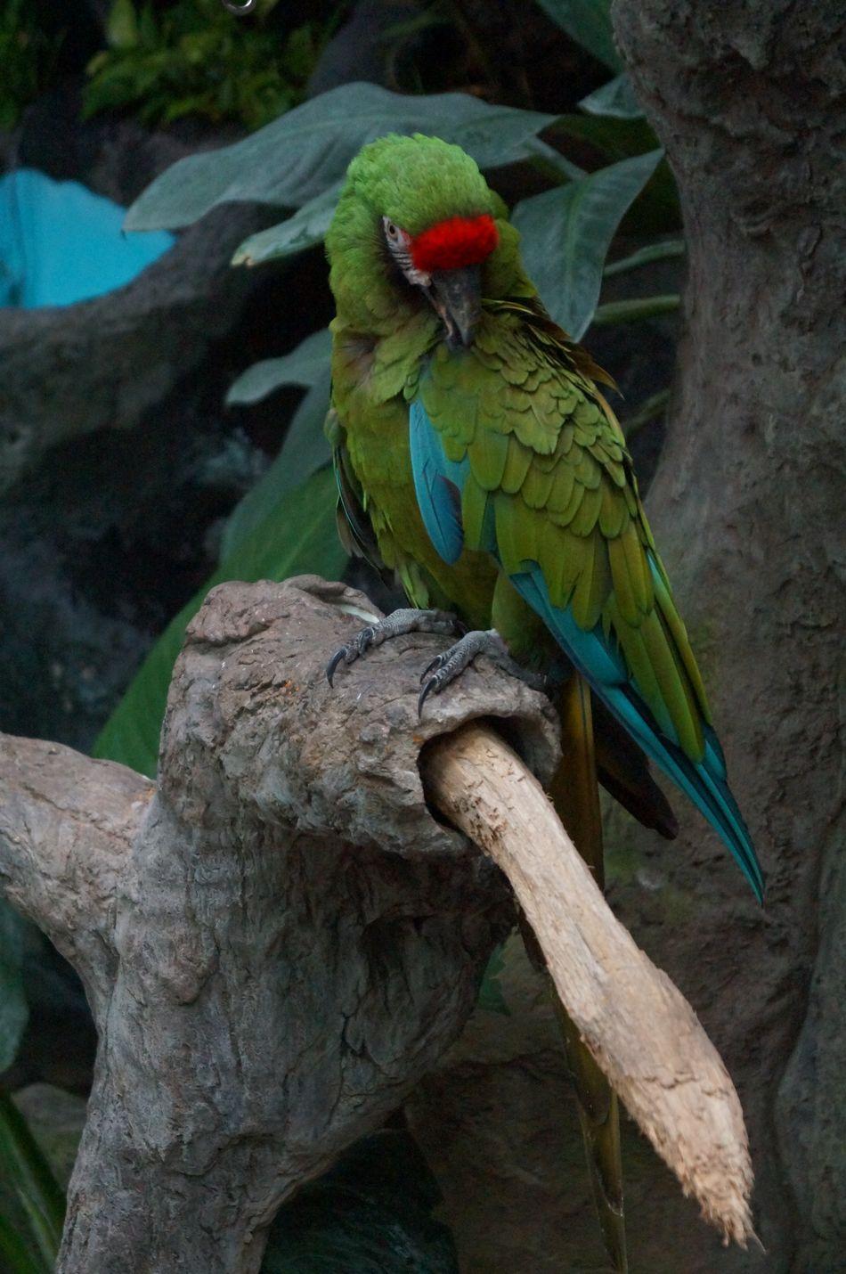 #animal #Azul #birds #Blue #captivity #green #guacamaya #macaw #naturecolors #park #Pets #verde