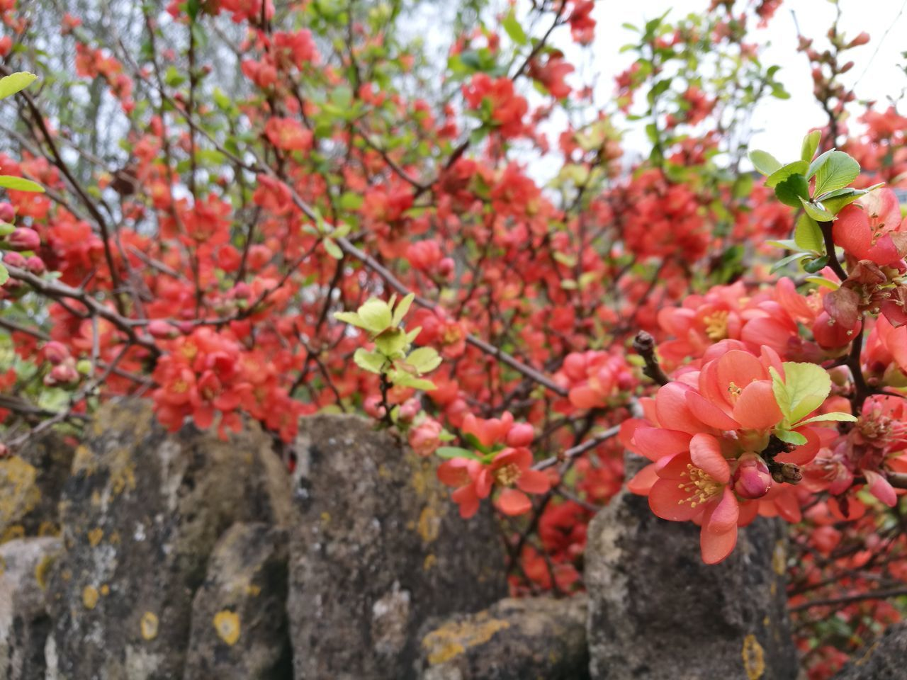 Japanese Quince Japanese Quince Branch Flower Red Flower Head Fragility Beauty In Nature Chaenomeles Spring Has Arrived Red Flowers NatureFlowers And Wall Springtime Spring Flowers Growth Tree Outdoors Freshness Close-up No People Day