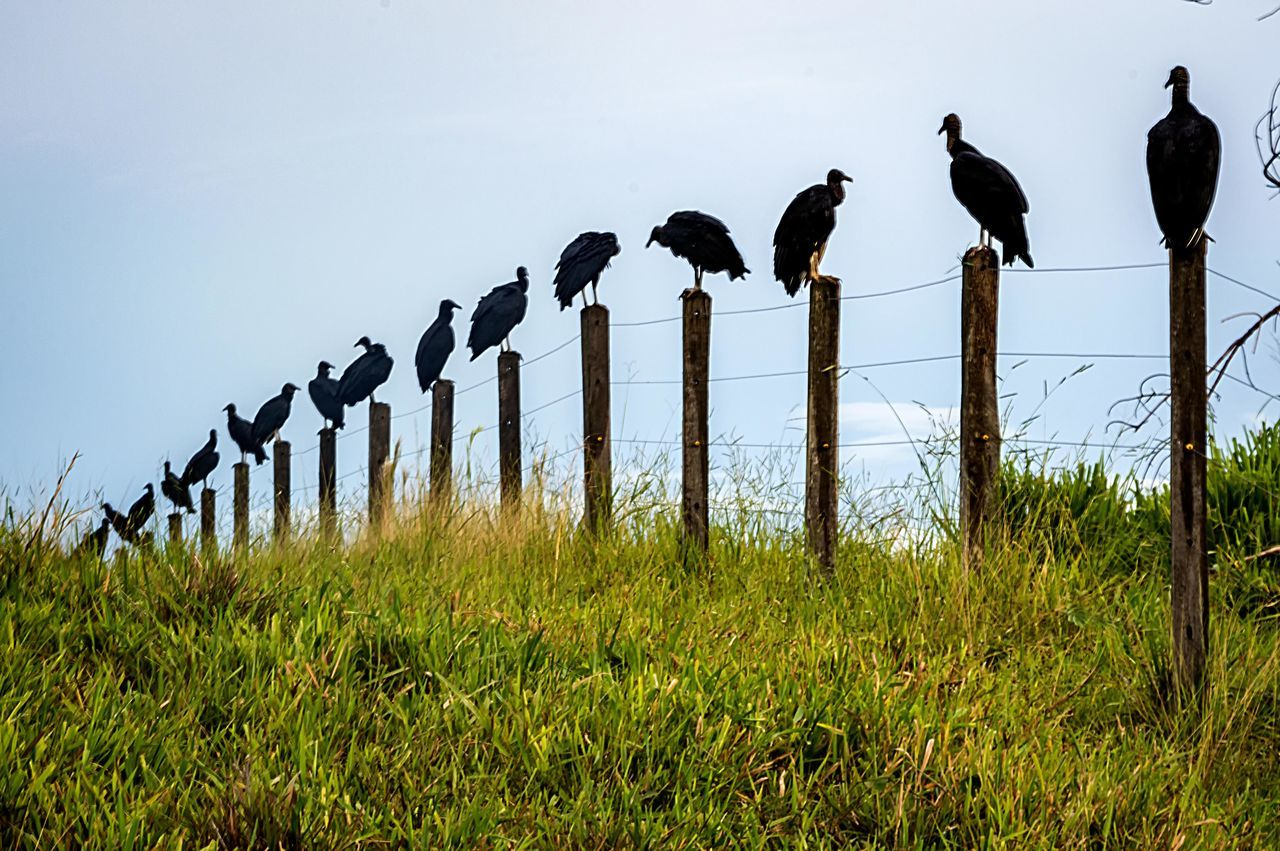 animal themes, bird, nature, animals in the wild, grass, field, no people, perching, day, outdoors, growth, animal wildlife, beauty in nature, wooden post, large group of animals, sky, mammal