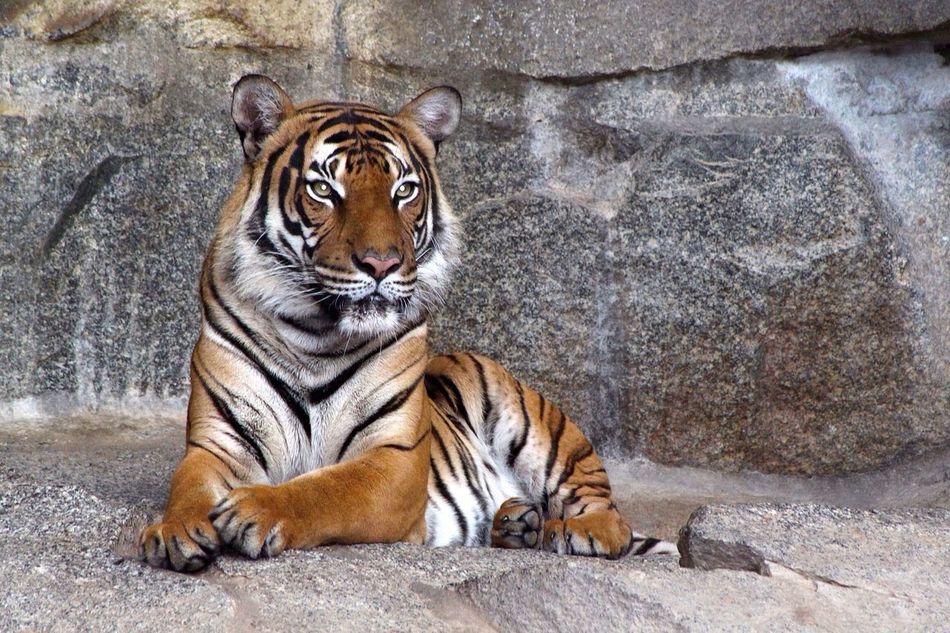 Beautiful stock photos of tiger, Alertness, Captivity, Curiosity, Day