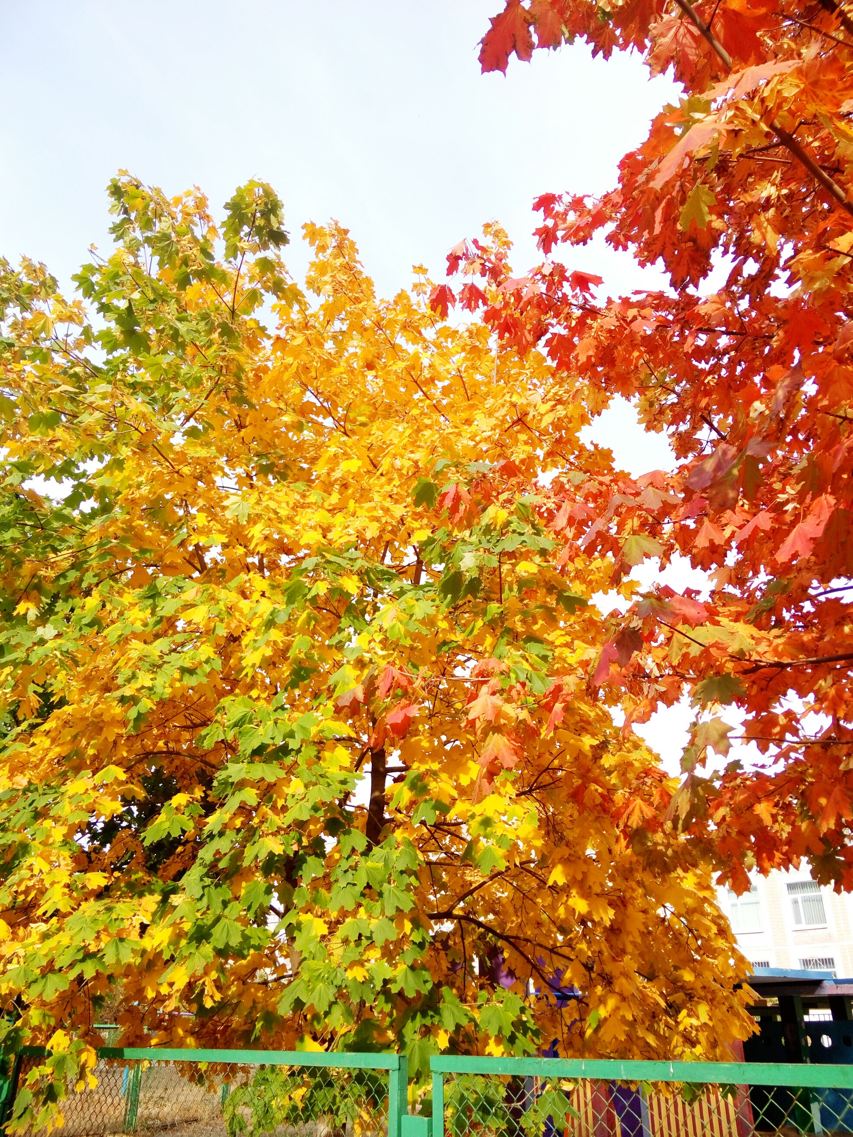 autumn, change, tree, leaf, growth, nature, beauty in nature, outdoors, orange color, no people, day, maple tree, low angle view, maple leaf, branch, yellow, scenics, sky, close-up, maple, freshness