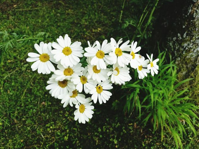Flower White Color Nature Fragility Growth Flower Head Freshness High Angle View Day Outdoors Plant Beauty In Nature Springtime Close-up No People Nature Grass From Where I Stand 2017 EyeEmNewHere Light In The Darkness June