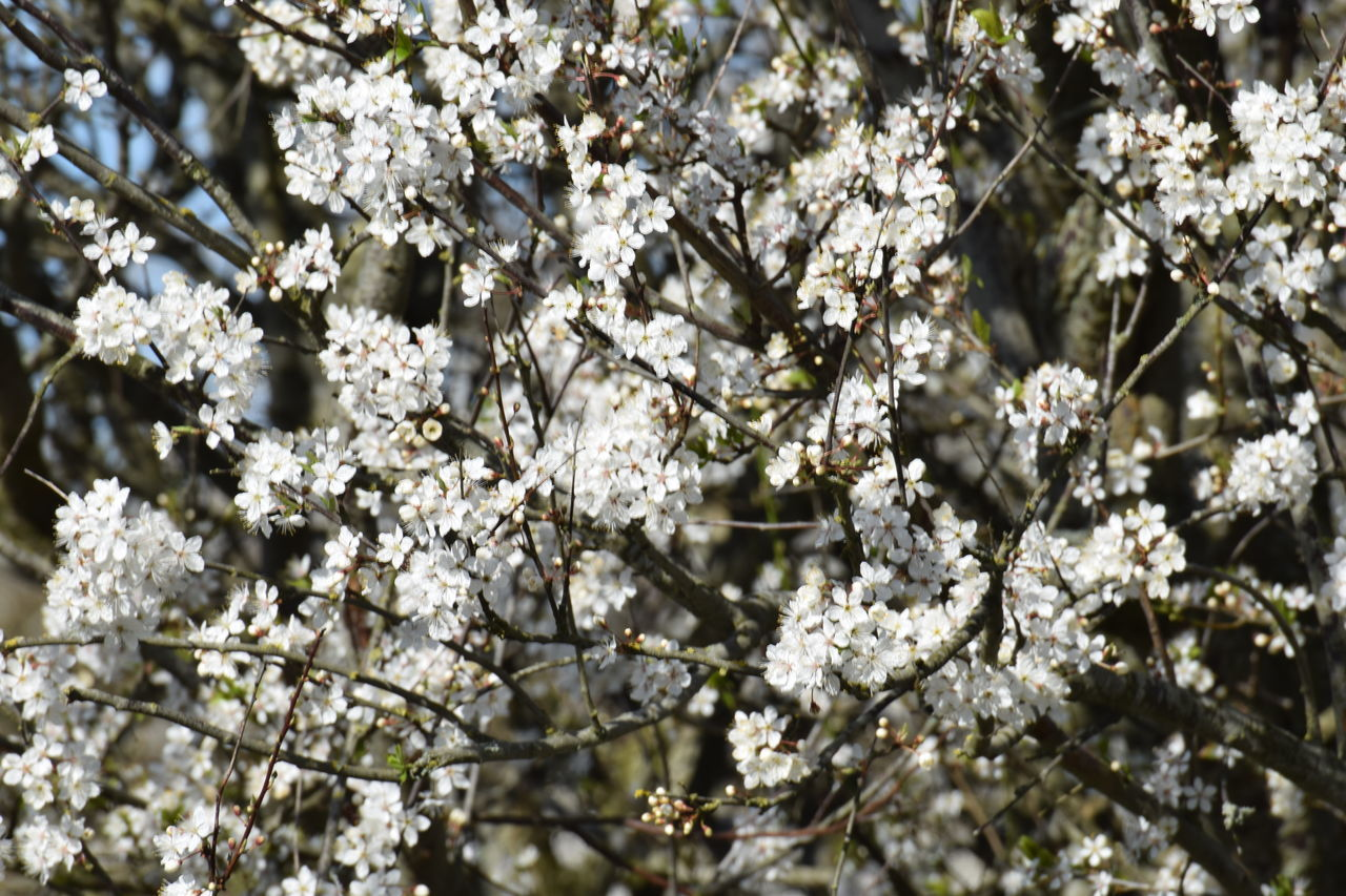 flower, blossom, fragility, tree, cherry blossom, apple blossom, springtime, growth, apple tree, white color, freshness, nature, branch, cherry tree, orchard, beauty in nature, botany, almond tree, no people, spring, backgrounds, day, close-up, outdoors, flower head