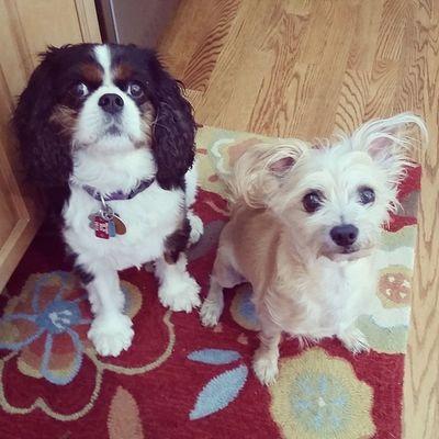 Aaaand they did it ... they got cuter. Love these mushies Stanleymuffins Maggiethecavalier Boyfriendgirlfriend Dogstagram dogsofinstagram dogs
