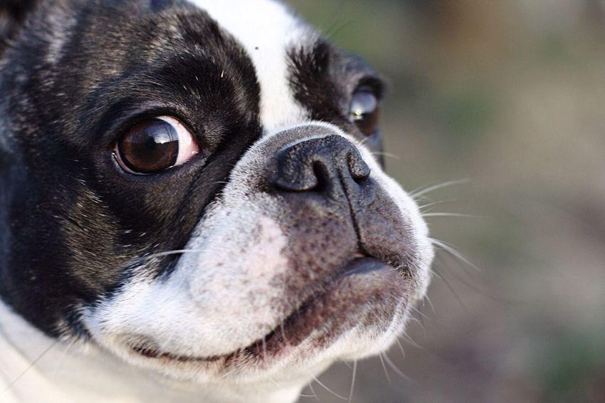 Funny Dog Lustiger Hund Plattnase Frenchbulldog Französiche Bulldogge Hund Pet Portraits