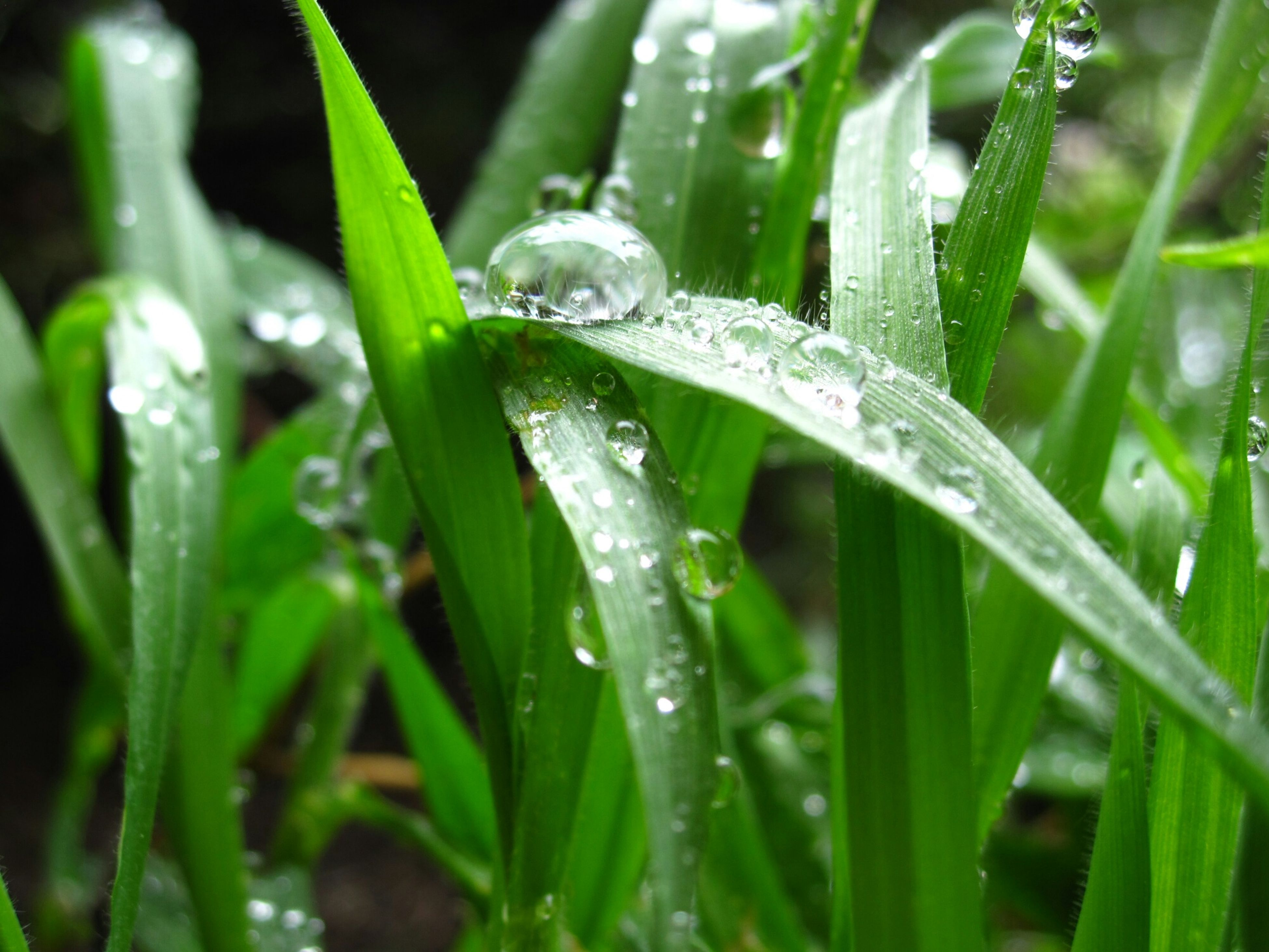drop, water, wet, grass, green color, close-up, blade of grass, dew, growth, nature, freshness, beauty in nature, plant, selective focus, fragility, focus on foreground, droplet, water drop, raindrop, purity