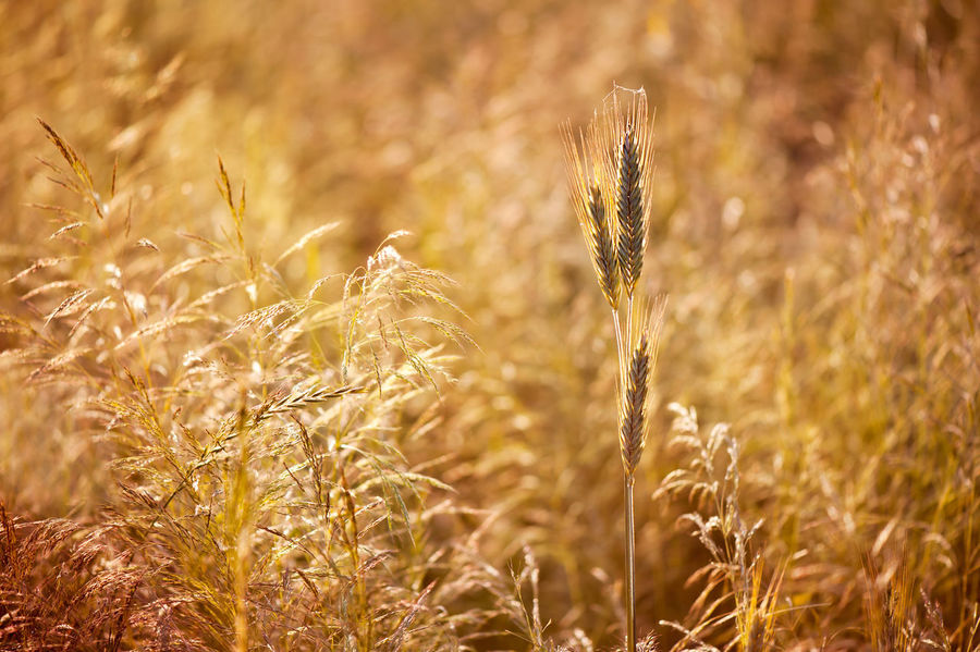 Golden cereal plant photo, grass grow in warm colors tonation, nature beauty, detail in field, three ripe plant ears ready to harvest, detail blurred in sepia tone, open air. Photo taken in Poland, horizontal orientation, nobody. Agriculture Blurred Cereal Field Golden Growing Nature Plant Triticum Wheat Barley Cereal Plant Crop  Day Defocused Ear Ear Of Wheat Hordeum No People Nobody Ripe Rural Scene Rye - Grain Secale Summer