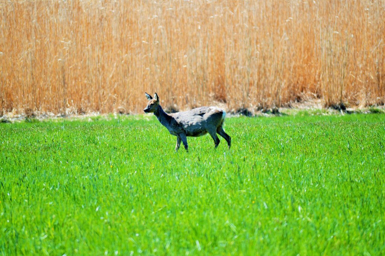 Beautiful stock photos of deer, Alertness, Copy Space, Deer, Grass