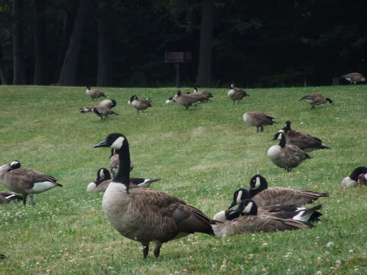 animal themes, animals in the wild, bird, grass, field, large group of animals, outdoors, nature, day, animal wildlife, goose, geese, tree, no people, togetherness