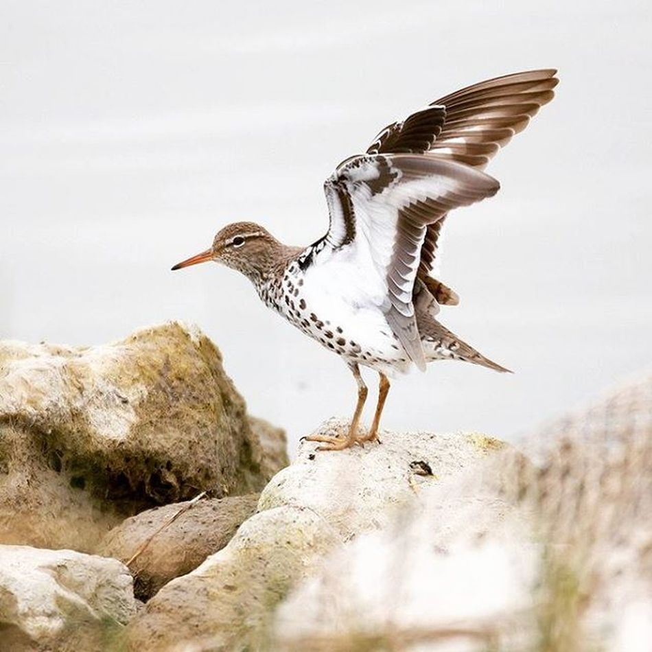 Spotted Sandpiper stretching it's wings, from a couple years ago. I think this was the only time I ever saw one.. Bird Utbirding Birding Wild Nature Utah Spottedsandpiper