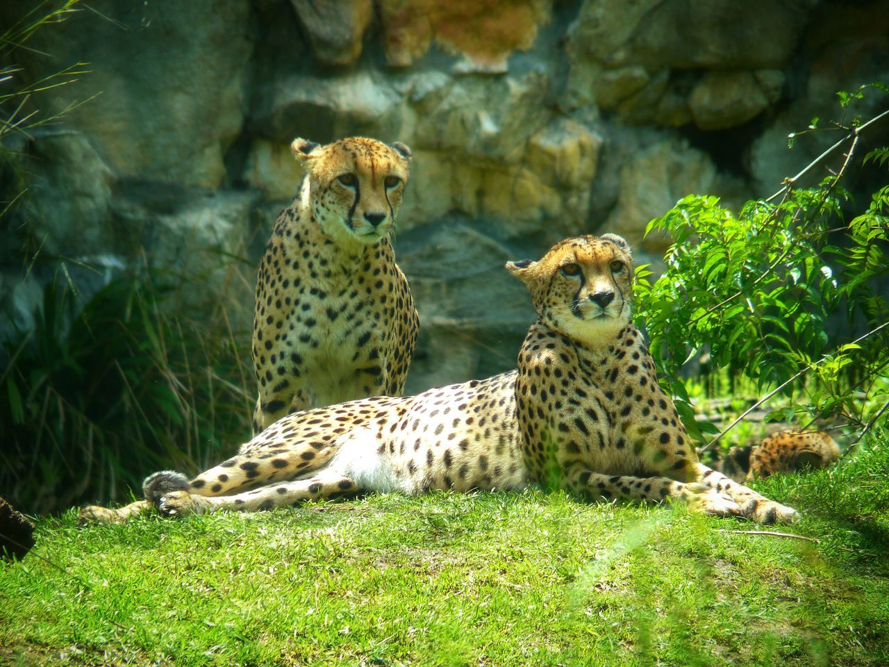 Pareja de Chitas. Cheetah Couple Outdoors Animal No People Zoo Animals Togetherness Felines Nature Sunny Day 🌞 Animal Themes Cats Eyes Grass Day Close-up Portrait Beauty In Nature Companion Temaiken